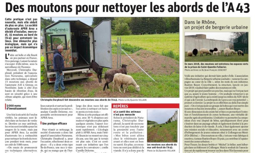Des moutons pour nettoyer les abords de l'A43