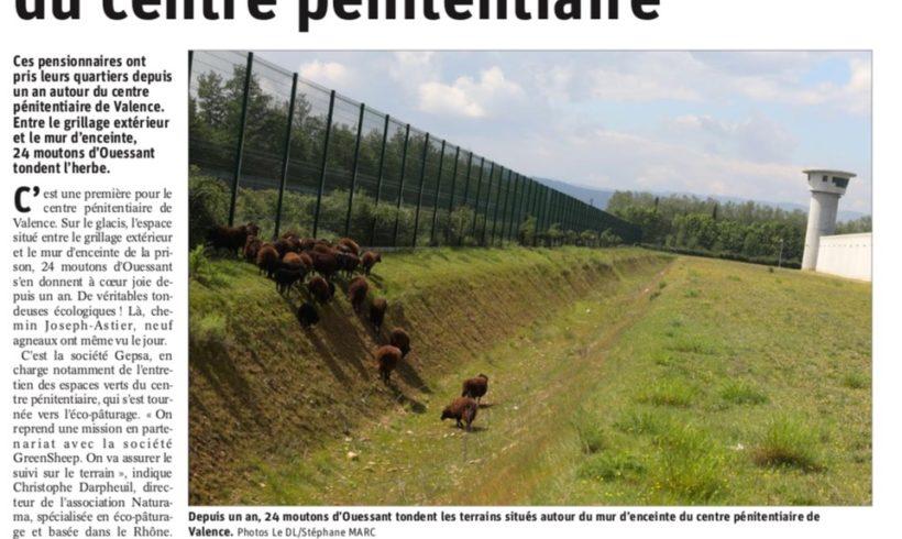 Des moutons dans l'herbe du Centre pénitentiaire
